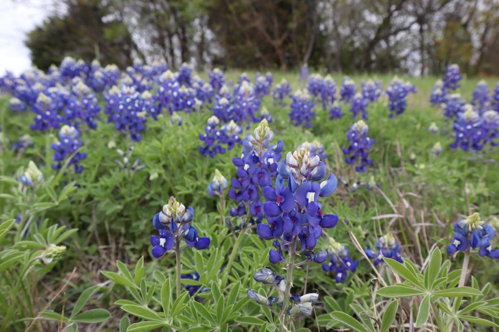 Donde Encontrar Campos de Bluebonnets en Texas